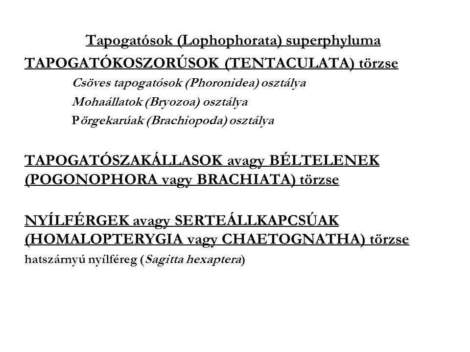 Tapogatósok (Lophophorata) superphyluma TAPOGATÓKOSZORÚSOK (TENTACULATA) törzse Csöves tapogatósok (Phoronidea) osztálya Mohaállatok (Bryozoa) osztálya Pörgekarúak (Brachiopoda) osztálya TAPOGATÓSZAKÁLLASOK avagy BÉLTELENEK (POGONOPHORA vagy BRACHIATA) törzse NYÍLFÉRGEK avagy SERTEÁLLKAPCSÚAK (HOMALOPTERYGIA vagy CHAETOGNATHA) törzse hatszárnyú nyílféreg (Sagitta hexaptera)