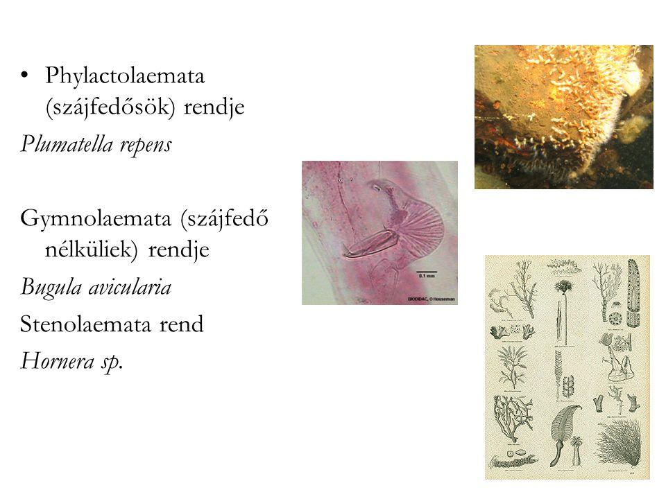 Phylactolaemata (szájfedősök) rendje Plumatella repens Gymnolaemata (szájfedő nélküliek) rendje Bugula avicularia Stenolaemata rend Hornera sp.