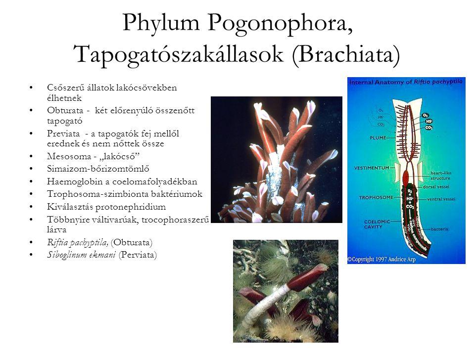 """Phylum Pogonophora, Tapogatószakállasok (Brachiata) Csőszerű állatok lakócsövekben élhetnek Obturata - két előrenyúló összenőtt tapogató Previata - a tapogatók fej mellől erednek és nem nőttek össze Mesosoma - """"lakócső Simaizom-bőrizomtömlő Haemoglobin a coelomafolyadékban Trophosoma-szimbionta baktériumok Kiválasztás protonephridium Többnyire váltivarúak, trocophoraszerű lárva Riftia pachyptila, (Obturata) Siboglinum ekmani (Perviata)"""