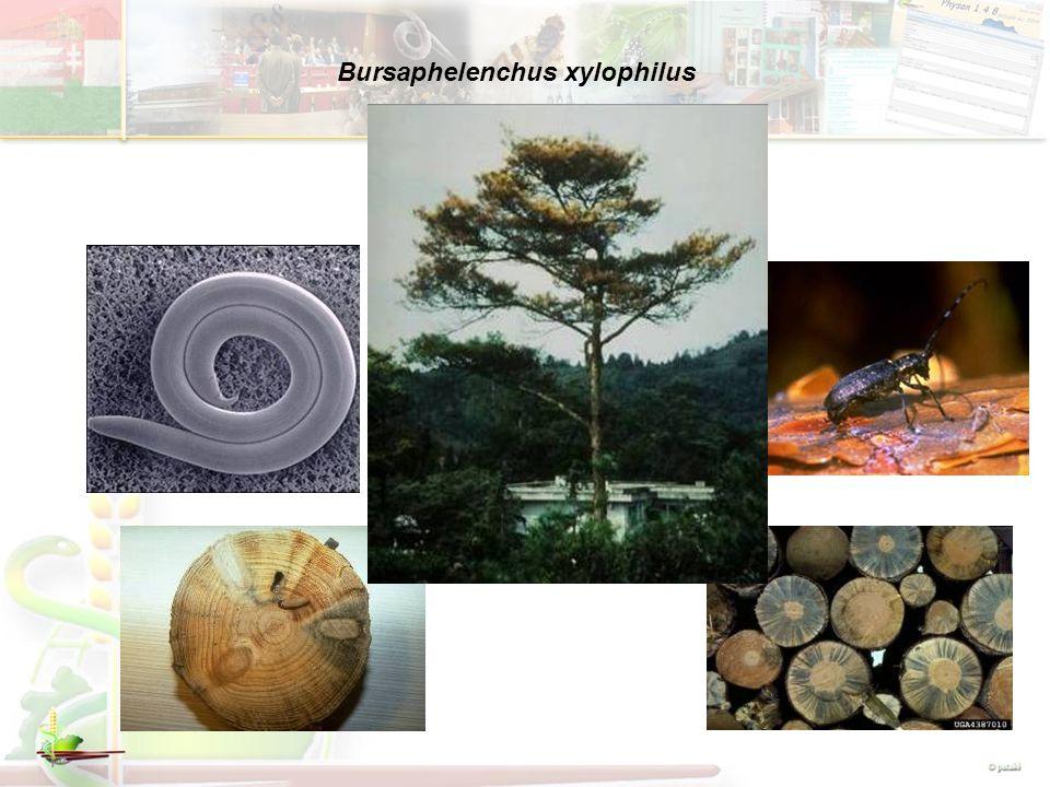 Bursaphelenchus xylophilus