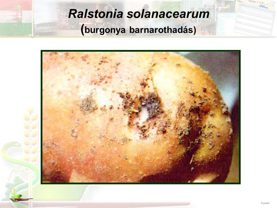 Ralstonia solanacearum ( burgonya barnarothadás)