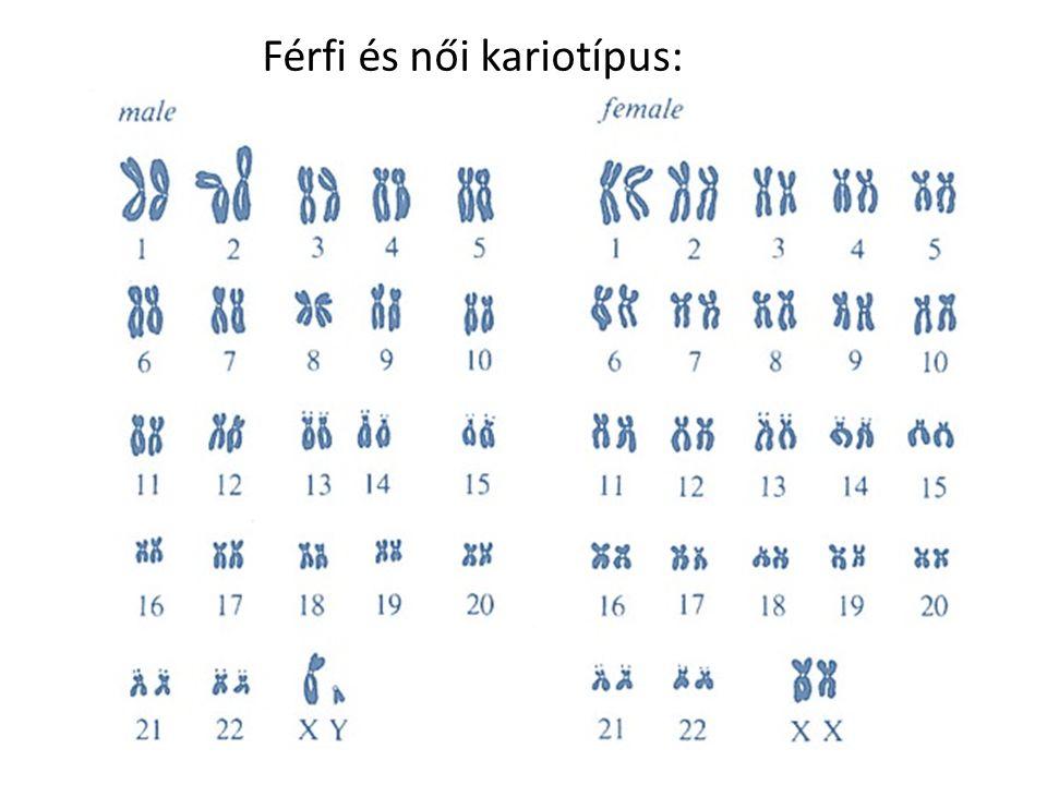 Férfi és női kariotípus: