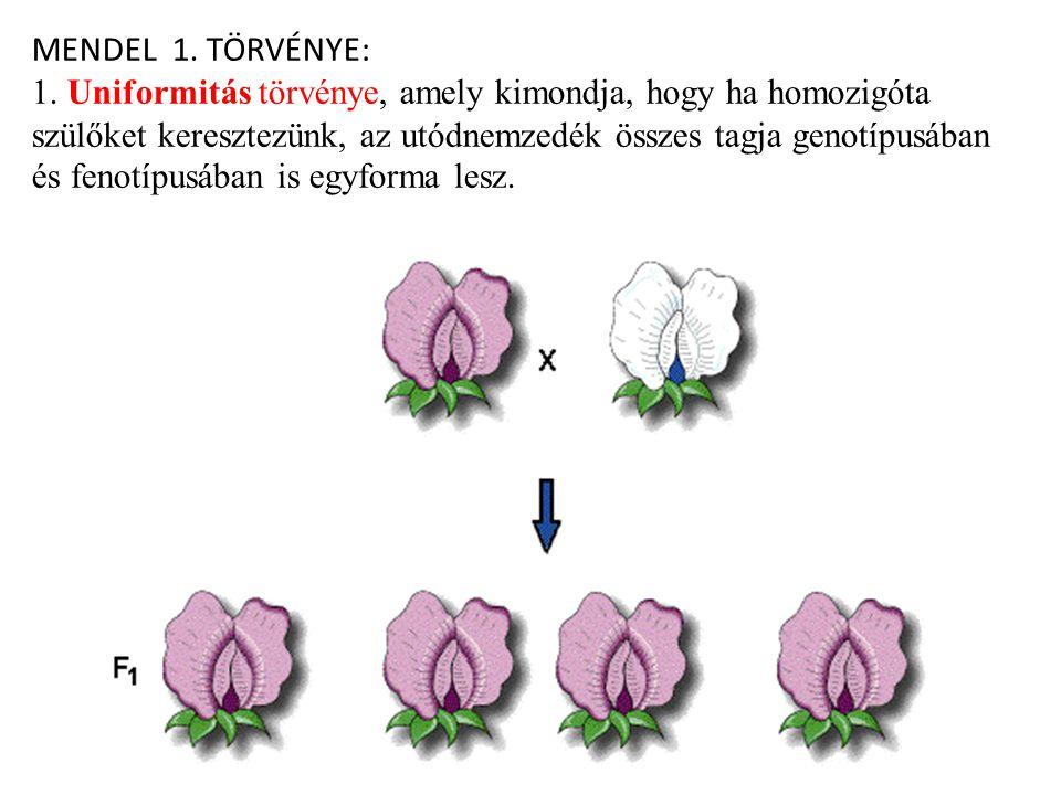 MENDEL 1. TÖRVÉNYE: 1. Uniformitás törvénye, amely kimondja, hogy ha homozigóta szülőket keresztezünk, az utódnemzedék összes tagja genotípusában és f