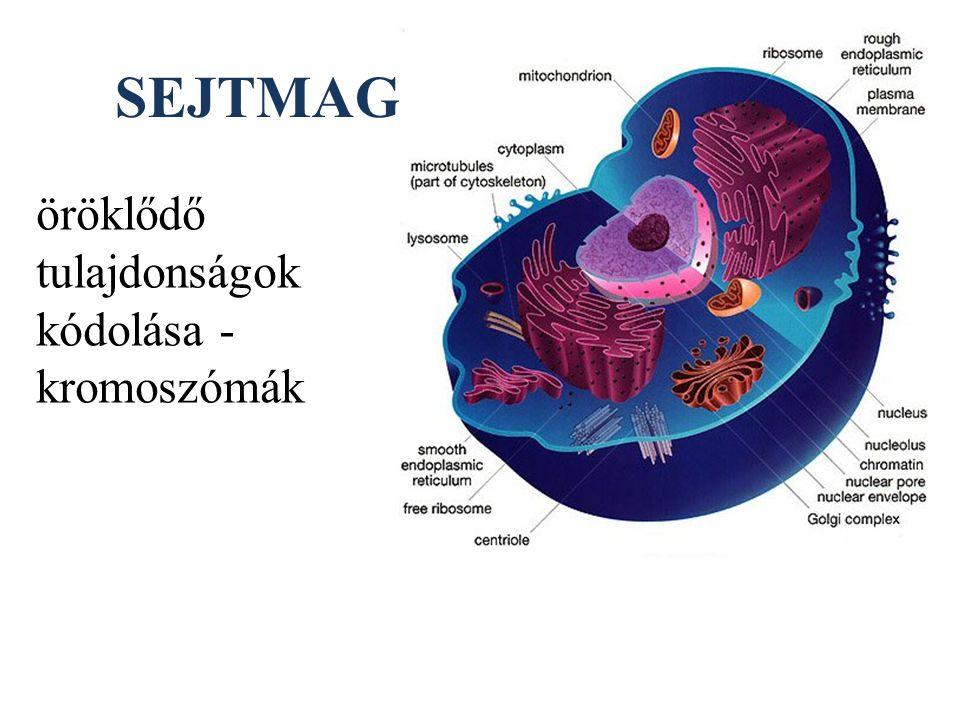 SEJTMAG öröklődő tulajdonságok kódolása - kromoszómák