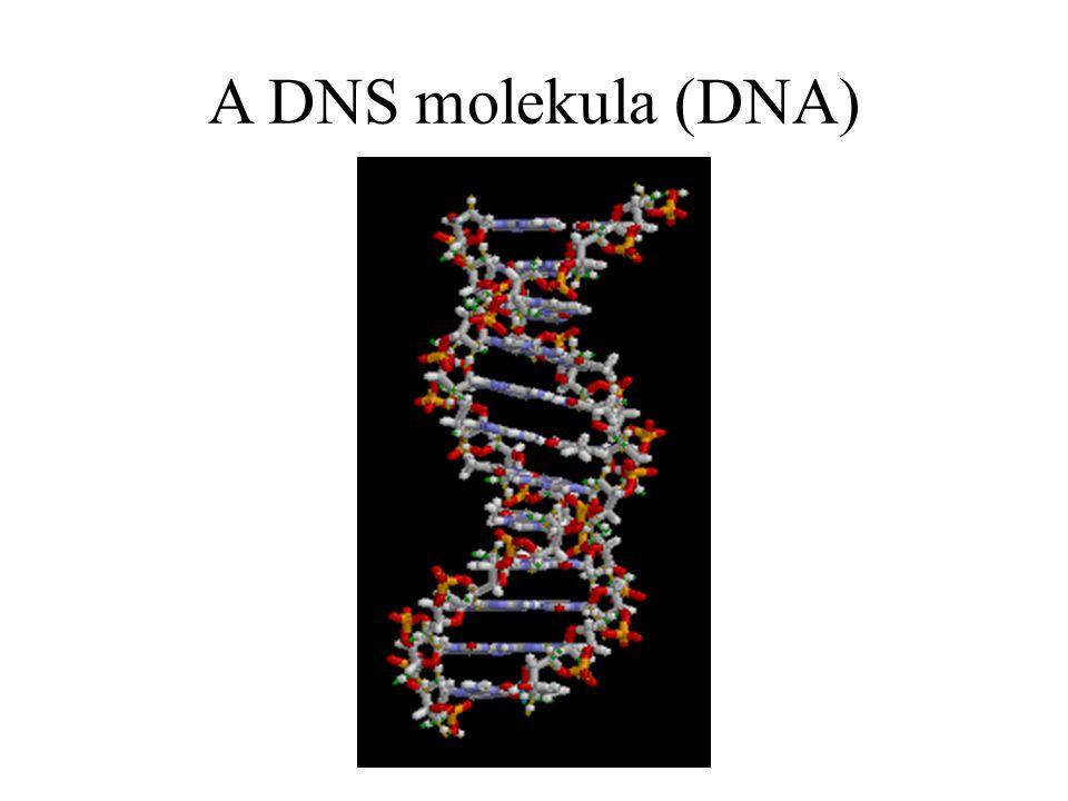 A DNS molekula (DNA)