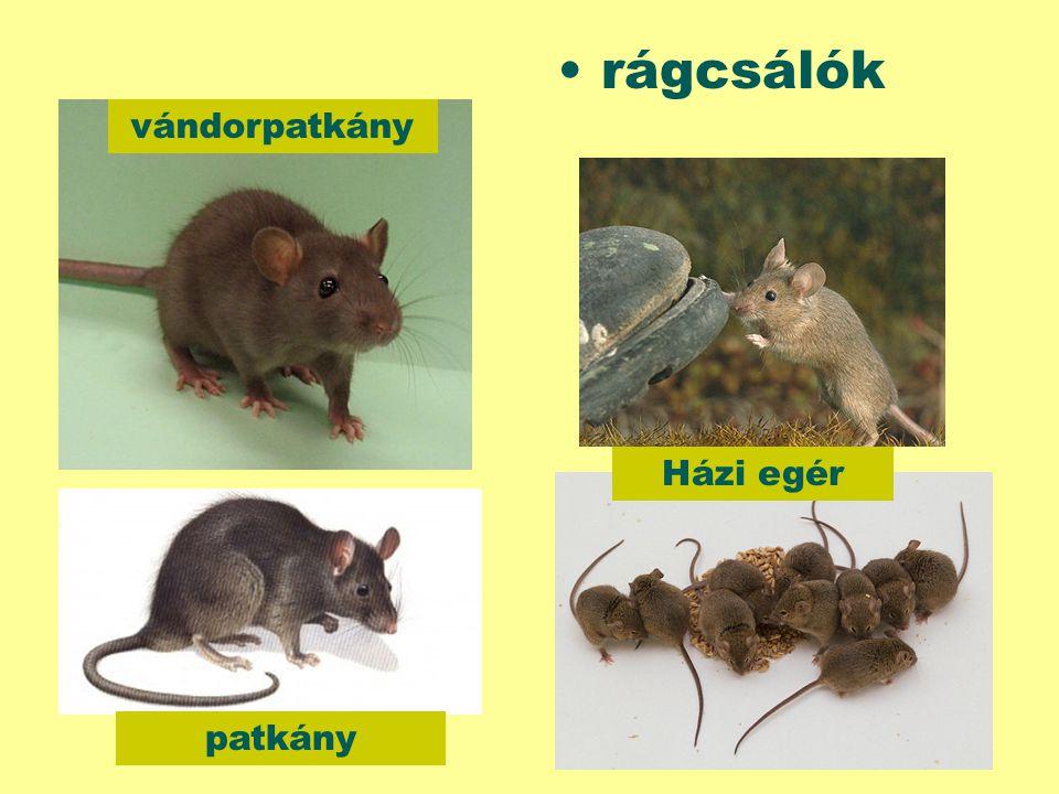 rágcsálók Házi egér vándorpatkány patkány