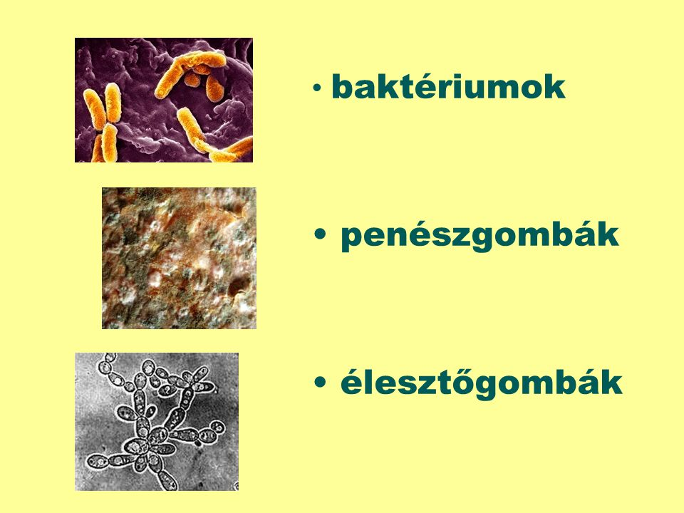 baktériumok penészgombák élesztőgombák