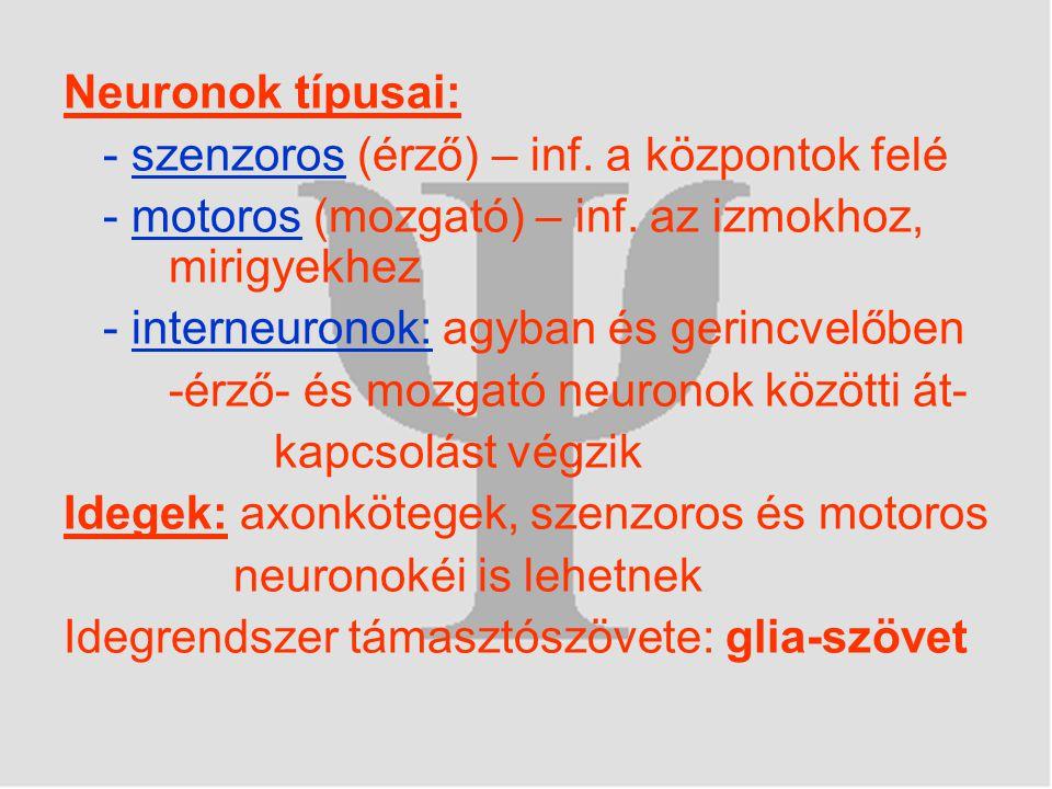 Neuronok típusai: - szenzoros (érző) – inf. a központok felé - motoros (mozgató) – inf. az izmokhoz, mirigyekhez - interneuronok: agyban és gerincvelő