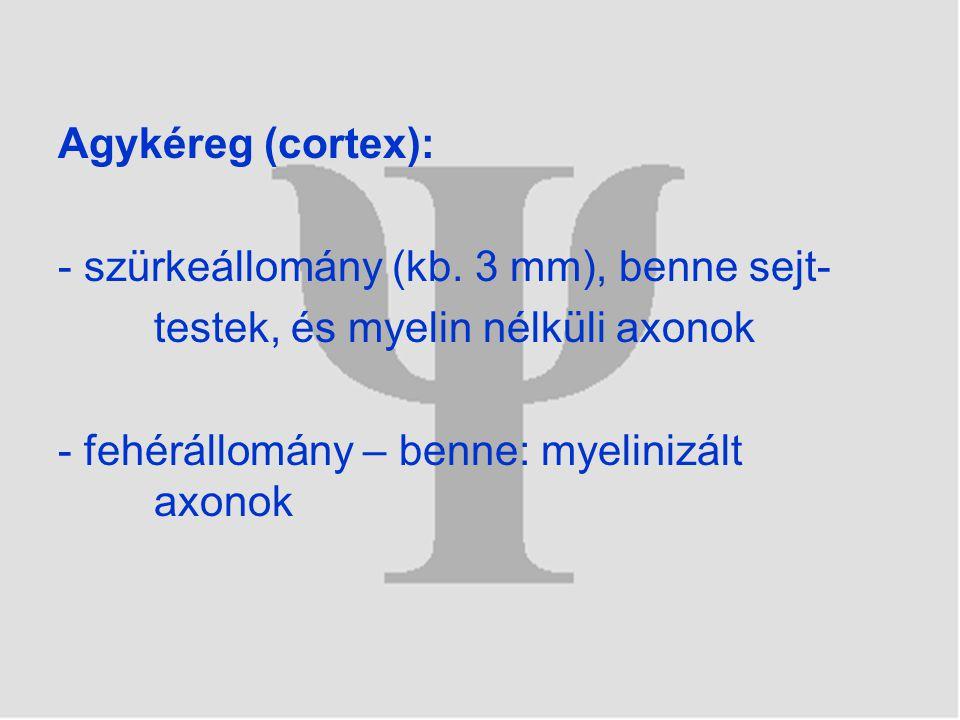 Agykéreg (cortex): - szürkeállomány (kb. 3 mm), benne sejt- testek, és myelin nélküli axonok - fehérállomány – benne: myelinizált axonok