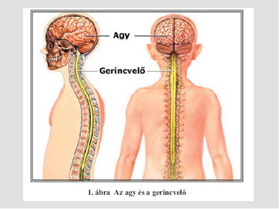 Környéki idegrendszer: érzékelő (affektor) és mozgató (effektor) idegekből áll