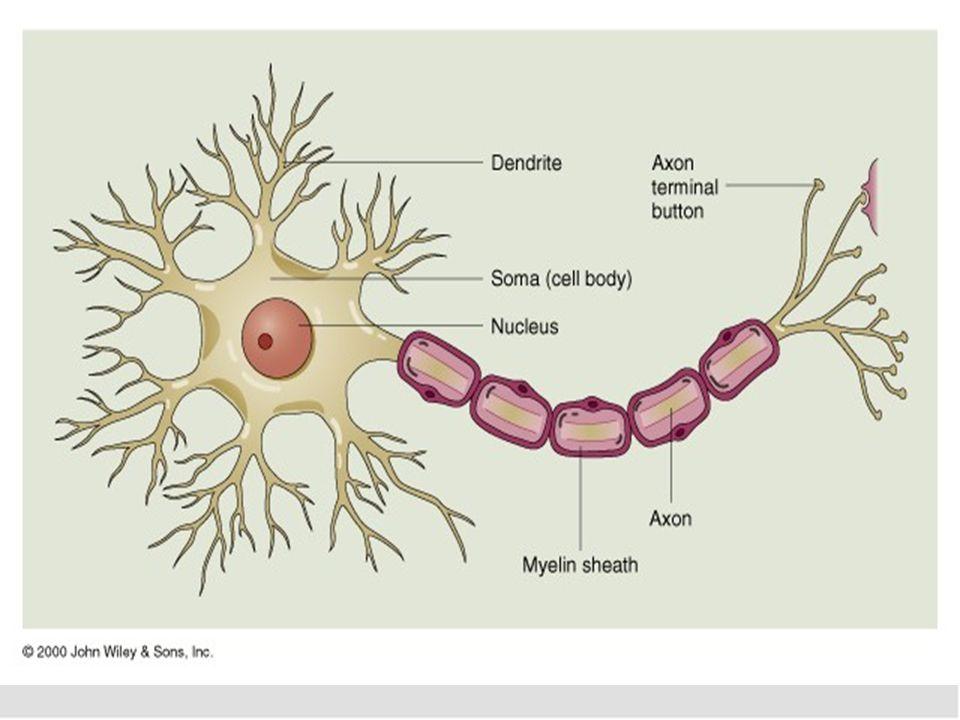 Funkciók: Sejttest és dendritek: ingerület felvétel Axon (tengelyfonál): ingerület továbbítás Ingerület továbbításának helye: szinapszis (sejttest v.