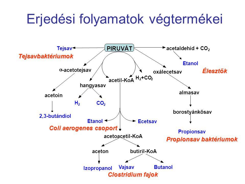 Erjedési folyamatok végtermékei PIRUVÁT Tejsavacetaldehid + CO 2 Etanol oxálecetsav almasav borostyánkősav Propionsav acetil-KoA H 2 +CO 2 hangyasav 