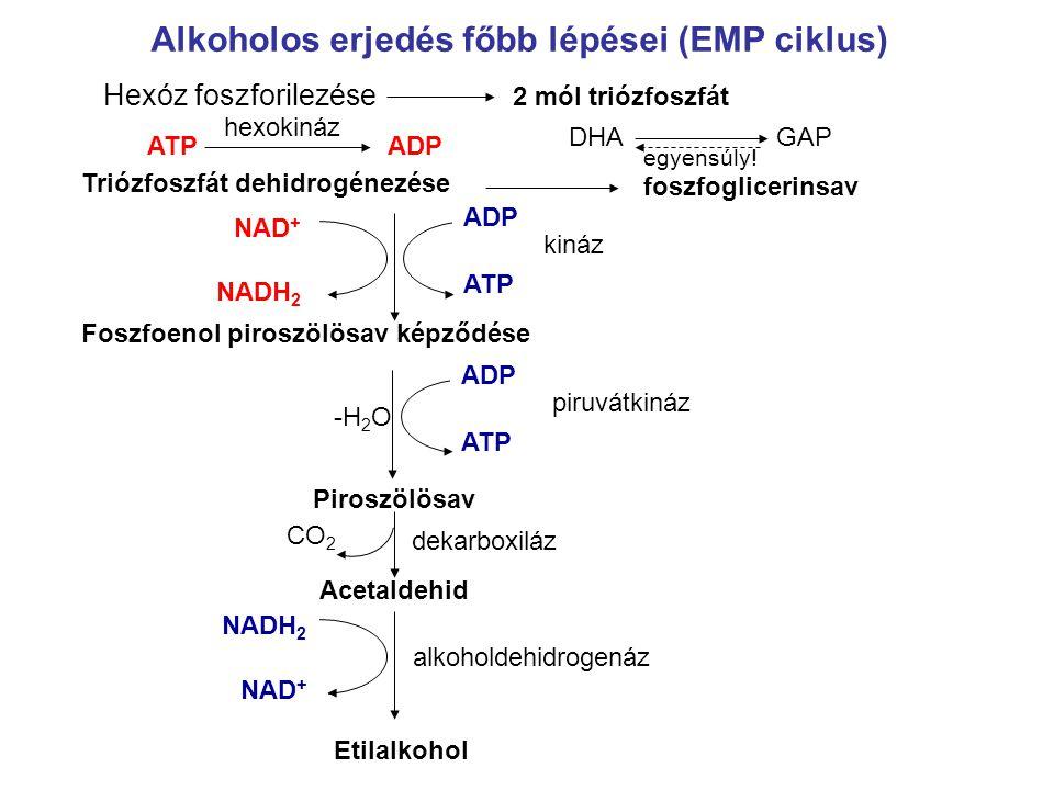 Alkoholos erjedés főbb lépései (EMP ciklus) GAPDHA Hexóz foszforilezése ATPADP hexokináz 2 mól triózfoszfát Triózfoszfát dehidrogénezése foszfogliceri