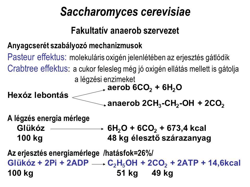 Saccharomyces cerevisiae Fakultatív anaerob szervezet Anyagcserét szabályozó mechanizmusok Pasteur effektus: molekuláris oxigén jelenlétében az erjesz