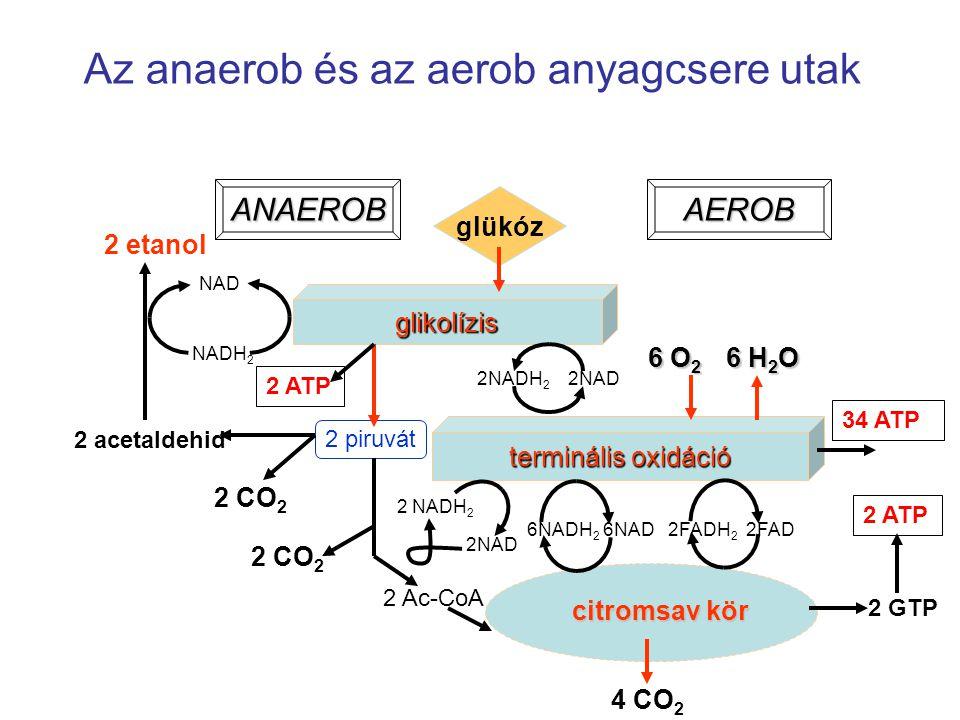 Az anaerob és az aerob anyagcsere utak 4 CO 2 glükóz glikolízis terminális oxidáció citromsav kör 2NADH 2 2NAD 6NADH 2 6NAD 2FADH 2 2FAD 6 O 2 6 H 2 O