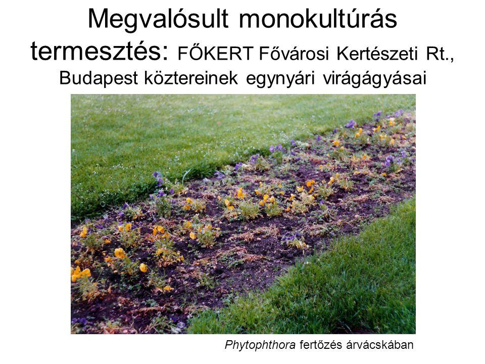 Megvalósult monokultúrás termesztés: FŐKERT Fővárosi Kertészeti Rt., Budapest köztereinek egynyári virágágyásai Phytophthora fertőzés árvácskában