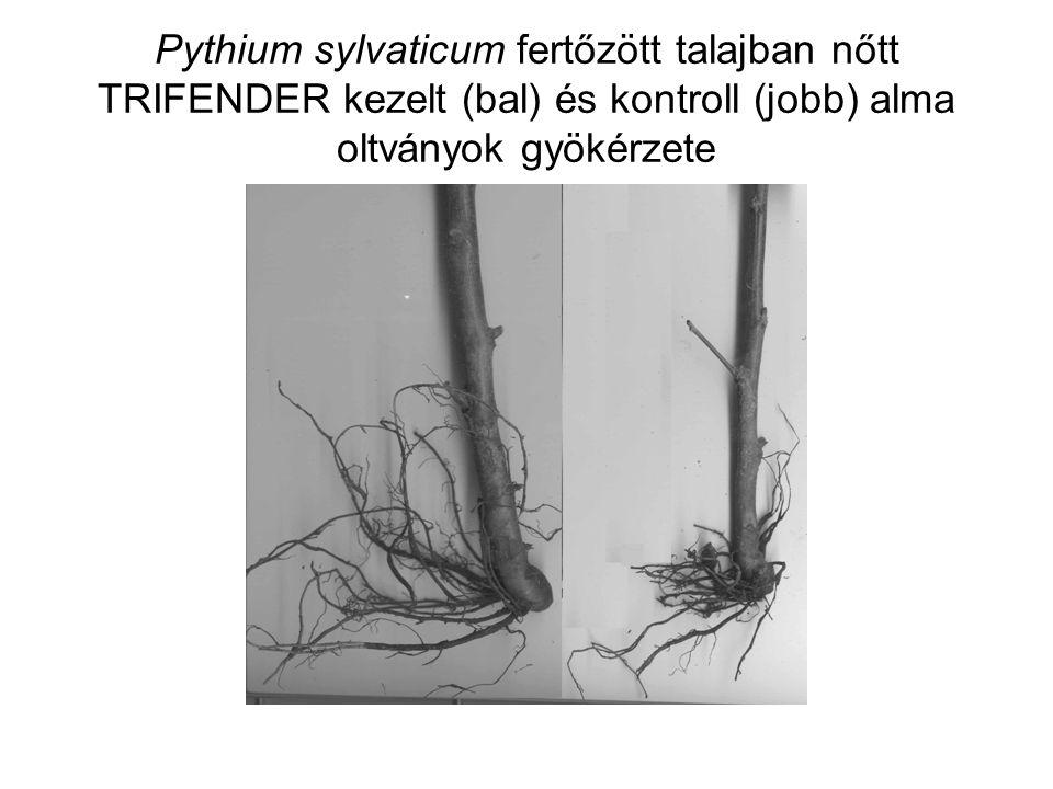 Pythium sylvaticum fertőzött talajban nőtt TRIFENDER kezelt (bal) és kontroll (jobb) alma oltványok gyökérzete