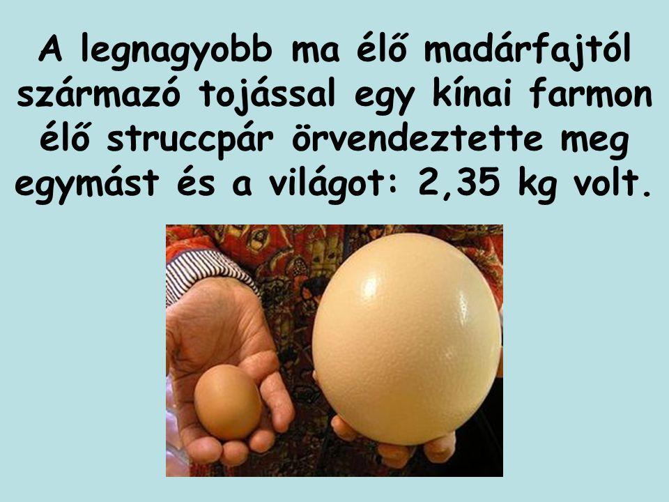 A legnagyobb ma élő madárfajtól származó tojással egy kínai farmon élő struccpár örvendeztette meg egymást és a világot: 2,35 kg volt.