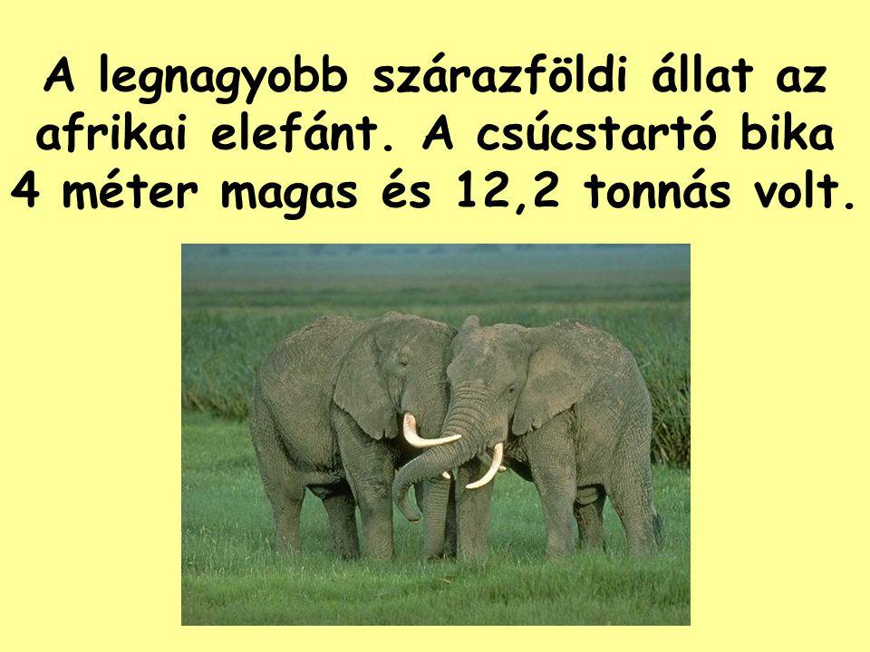 A legnagyobb szárazföldi állat az afrikai elefánt.