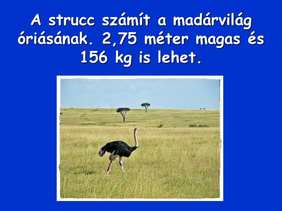 A strucc számít a madárvilág óriásának. 2,75 méter magas és 156 kg is lehet.