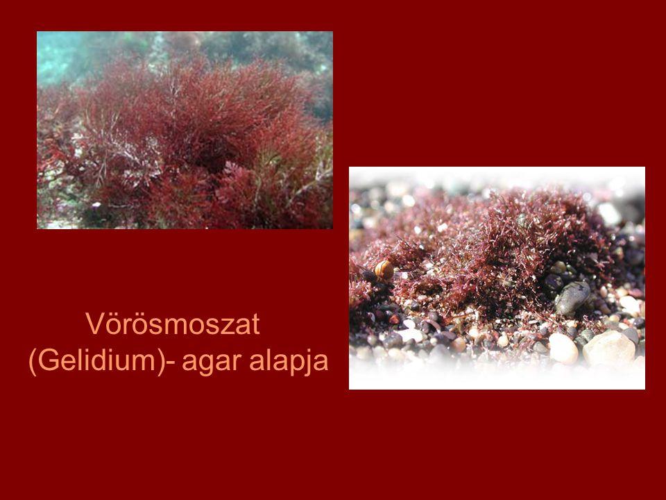 Vörösmoszat (Gelidium)- agar alapja