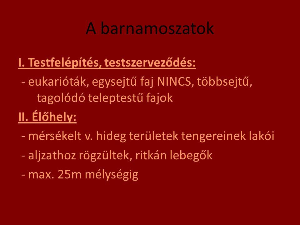 A barnamoszatok I. Testfelépítés, testszerveződés: - eukarióták, egysejtű faj NINCS, többsejtű, tagolódó teleptestű fajok II. Élőhely: - mérsékelt v.