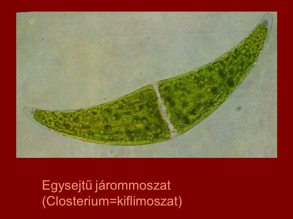 Egysejtű járommoszat (Closterium=kiflimoszat)