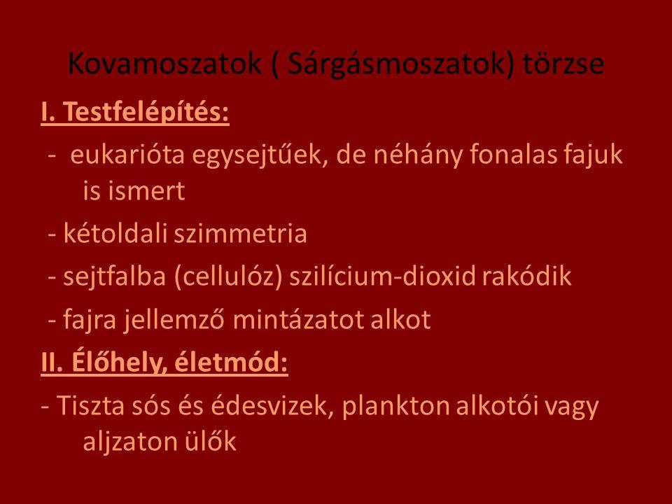Kovamoszatok ( Sárgásmoszatok) törzse I. Testfelépítés: - eukarióta egysejtűek, de néhány fonalas fajuk is ismert - kétoldali szimmetria - sejtfalba (