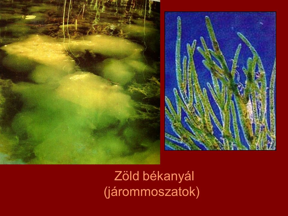 Zöld békanyál (járommoszatok)