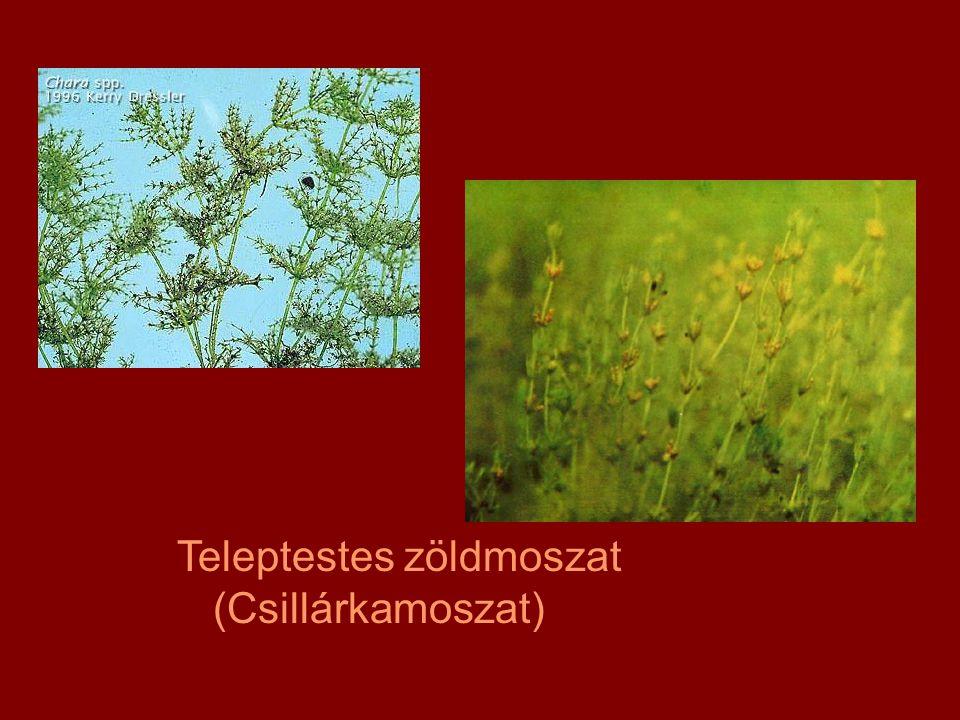 Teleptestes zöldmoszat (Csillárkamoszat)