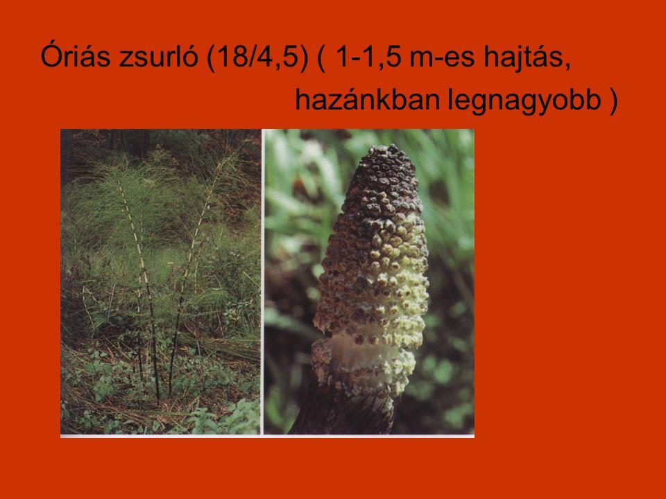 Óriás zsurló (18/4,5) ( 1-1,5 m-es hajtás, hazánkban legnagyobb )