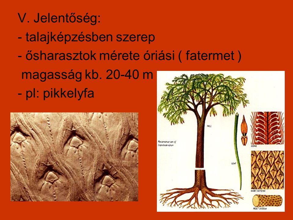 V. Jelentőség: - talajképzésben szerep - ősharasztok mérete óriási ( fatermet ) magasság kb. 20-40 m - pl: pikkelyfa