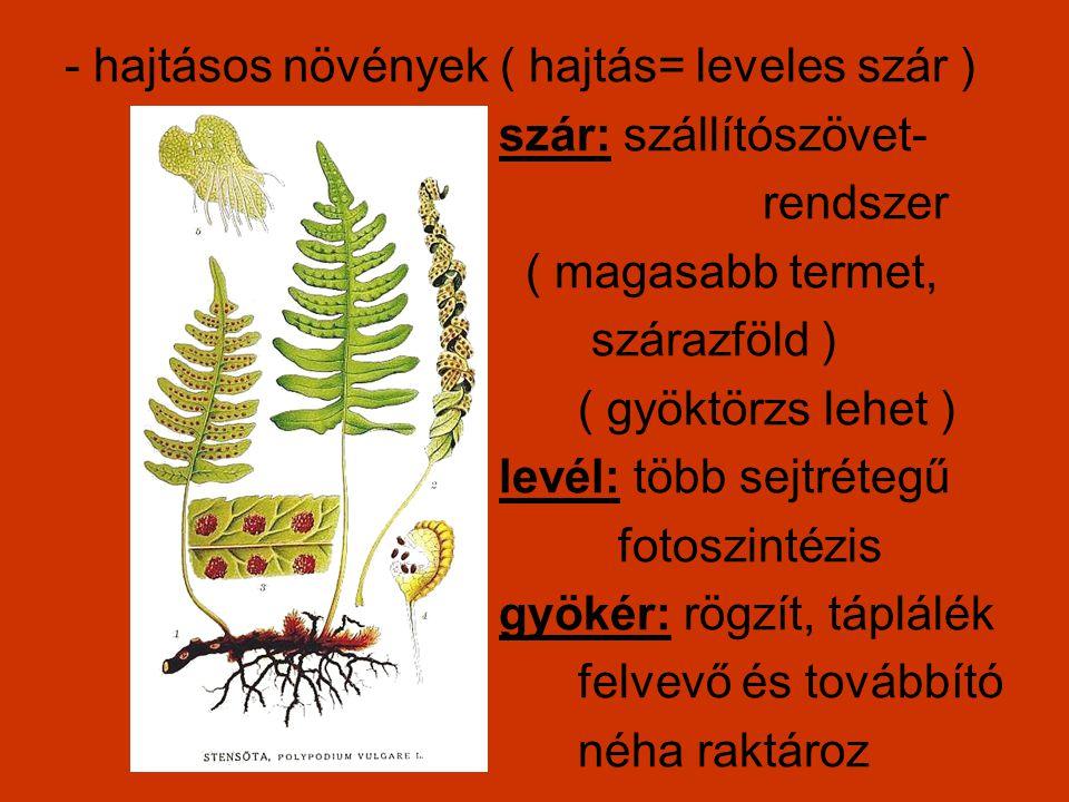 - hajtásos növények ( hajtás= leveles szár ) szár: szállítószövet- rendszer ( magasabb termet, szárazföld ) ( gyöktörzs lehet ) levél: több sejtrétegű