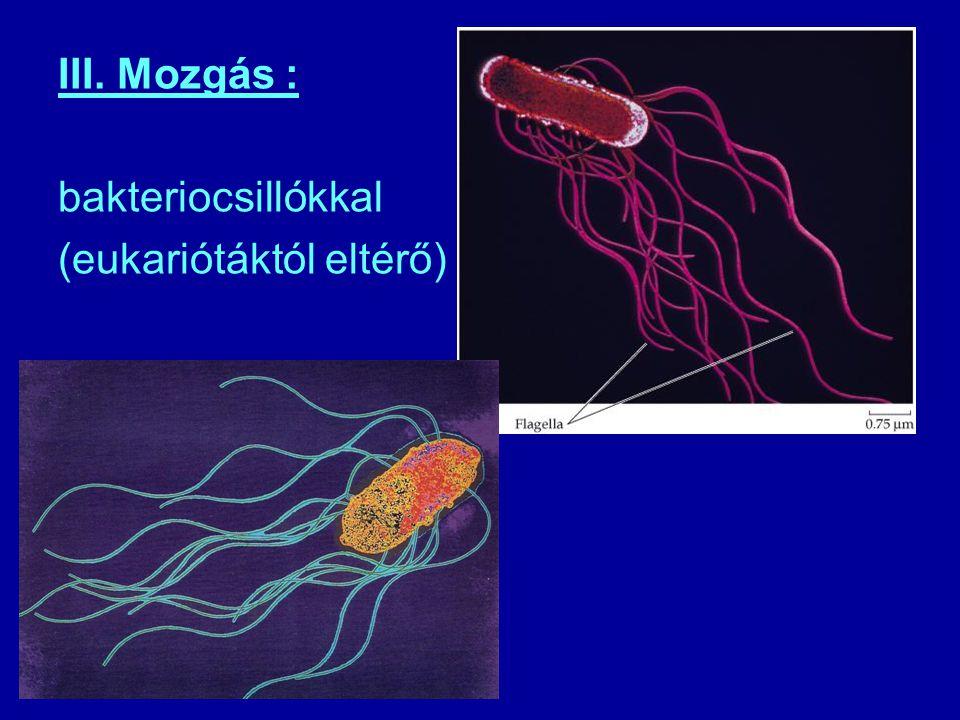III. Mozgás : bakteriocsillókkal (eukariótáktól eltérő)