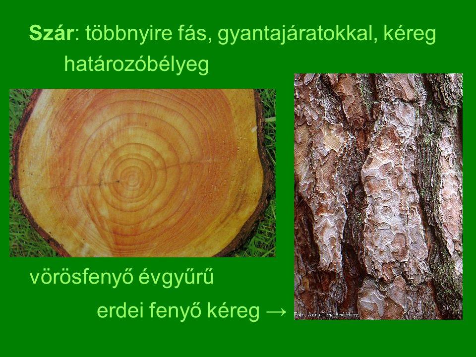Szár: többnyire fás, gyantajáratokkal, kéreg határozóbélyeg vörösfenyő évgyűrű erdei fenyő kéreg →