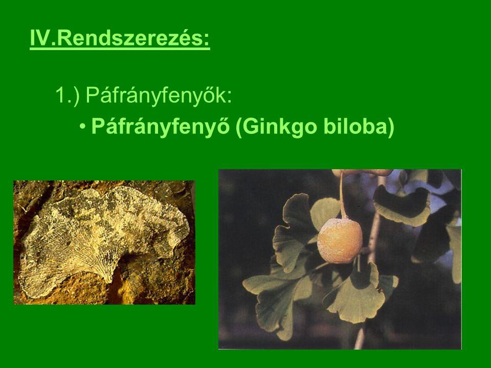 IV.Rendszerezés: 1.) Páfrányfenyők: Páfrányfenyő (Ginkgo biloba)