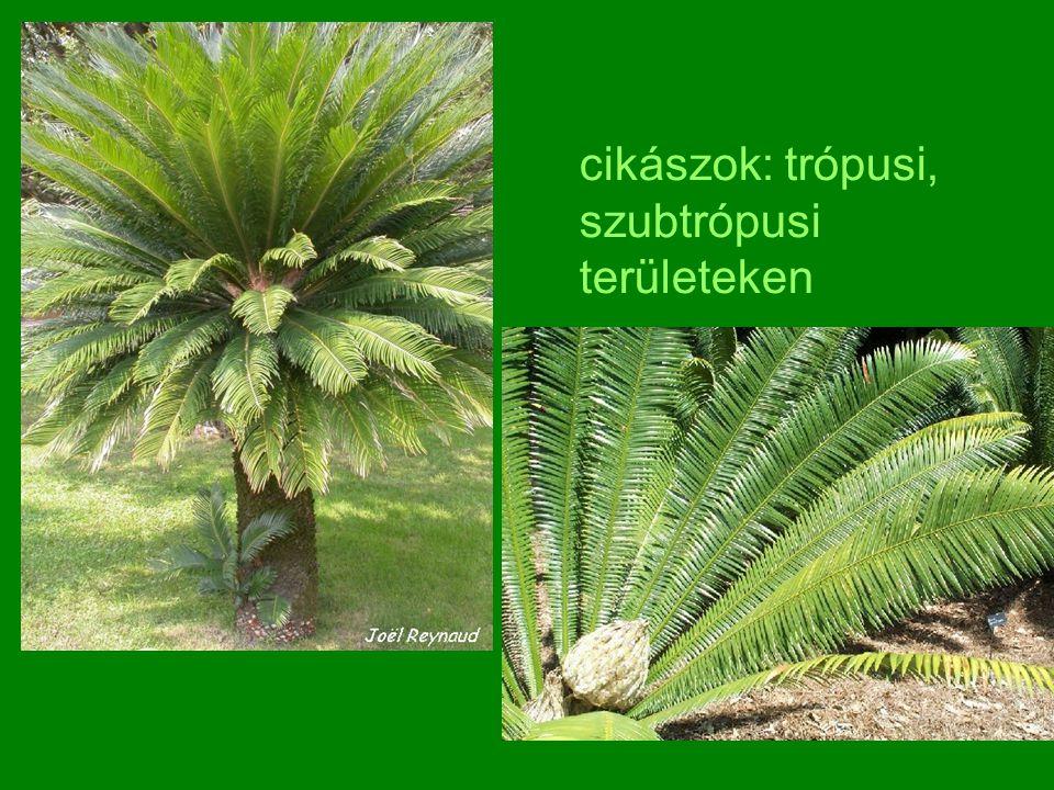 cikászok: trópusi, szubtrópusi területeken