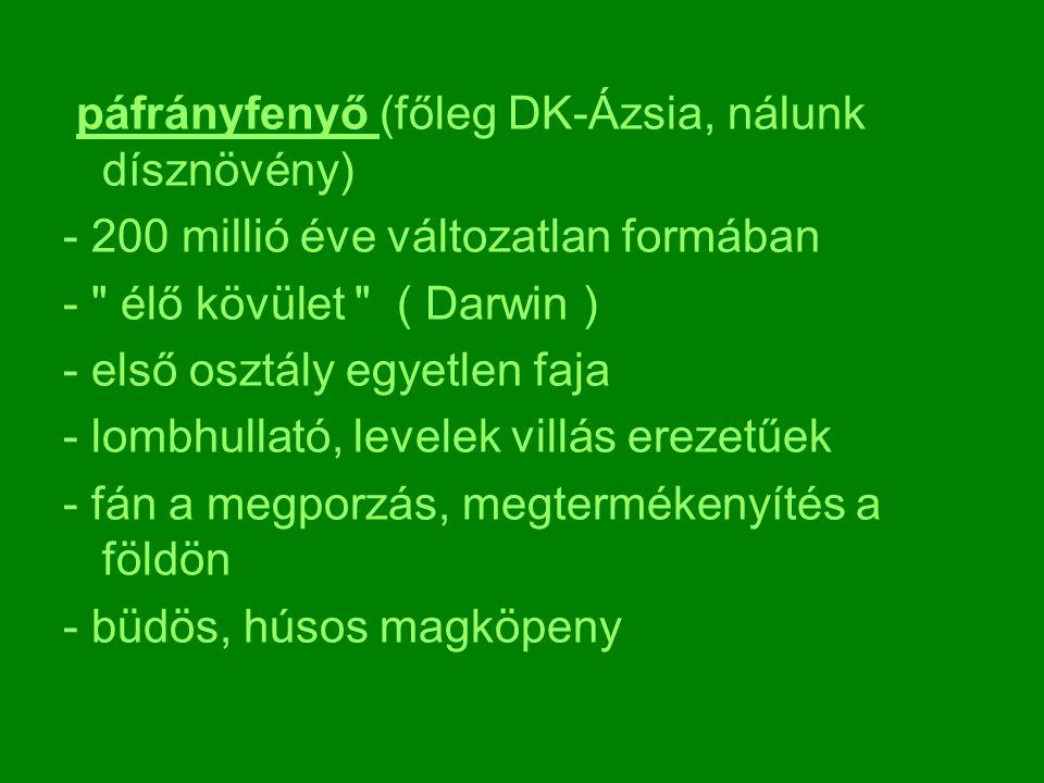 páfrányfenyő (főleg DK-Ázsia, nálunk dísznövény) - 200 millió éve változatlan formában -
