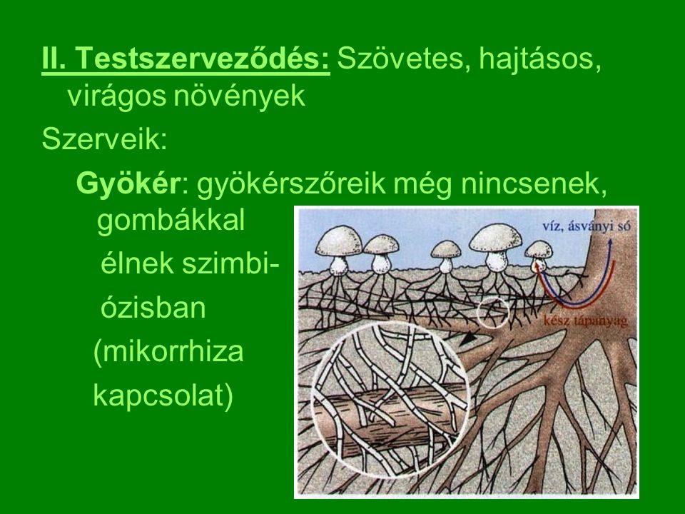 II. Testszerveződés: Szövetes, hajtásos, virágos növények Szerveik: Gyökér: gyökérszőreik még nincsenek, gombákkal élnek szimbi- ózisban (mikorrhiza k