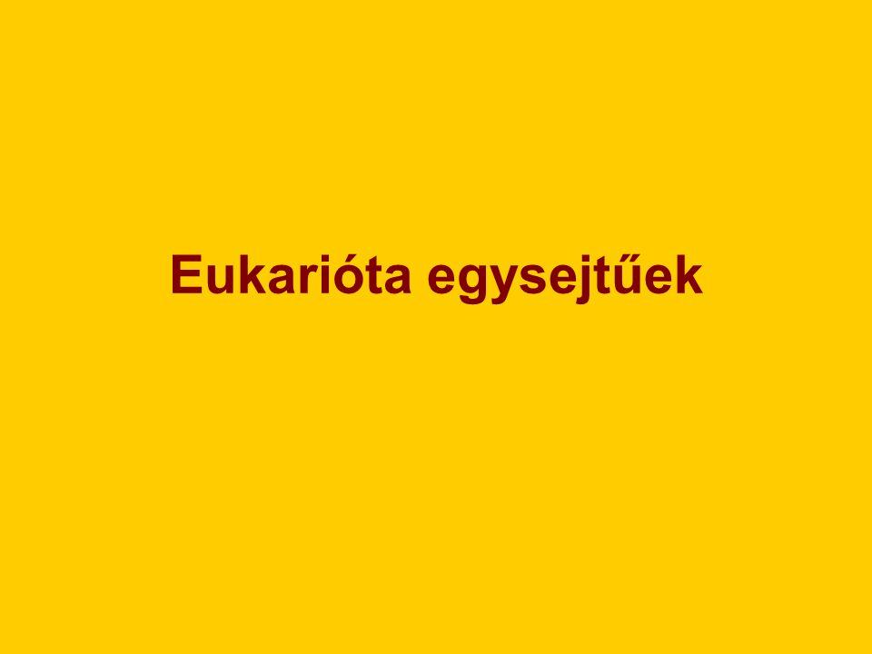 I.Testszerveződés: -egysejtű, eukarióta II.