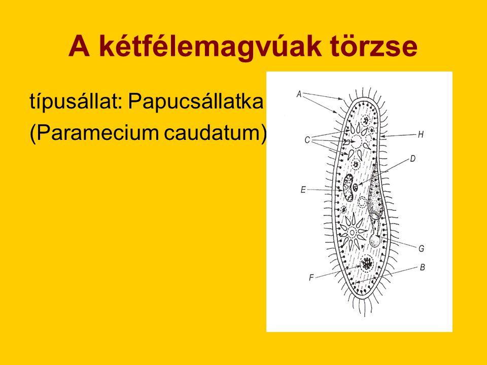 I.Testszerveződés: -eukarióta, egysejtű II. Testfelépítés: (sejtfal nincs, helyette: bőrke)