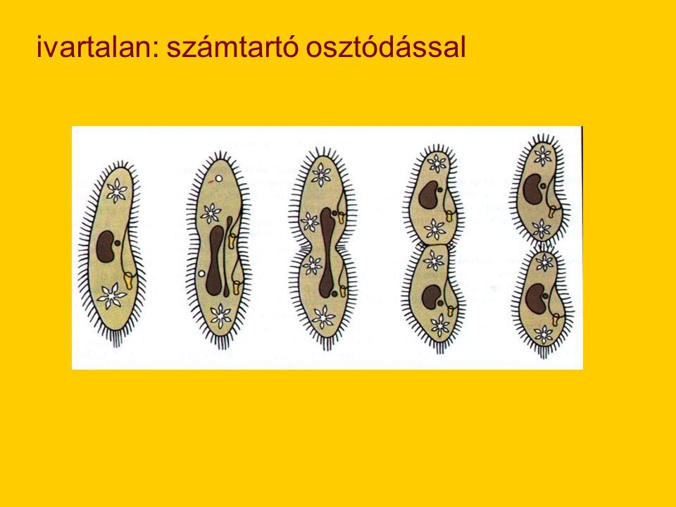 2.) szimbionták ( +;+ kapcsolat) pl: termeszek belében élő cellulózbontó ostoros egysejtű Galléros-ostorosok törzse -édesvíziek, helytülő magányos v.