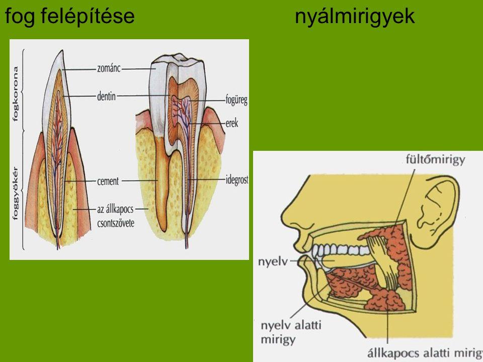 Zsírban oldódók :/raktározódnak D,E,K,A D-tartalmú:-zsírok, tej, vaj, növényi olajok -csont-és fogképzéshez hiánya:-csontosodási zavar/angolkór K-tartalmú:-paraj,kelkáposzta -véralvadás hiánya:-alvadási zavar,vérzékenység A-tartalmú:-máj, tojássárgája,hal -hámvédő,látáshoz hiánya:-száraz,repedezett bőr,farkasvakság