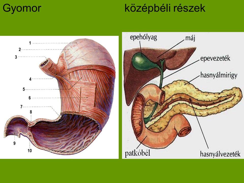 Gyomorközépbéli részek