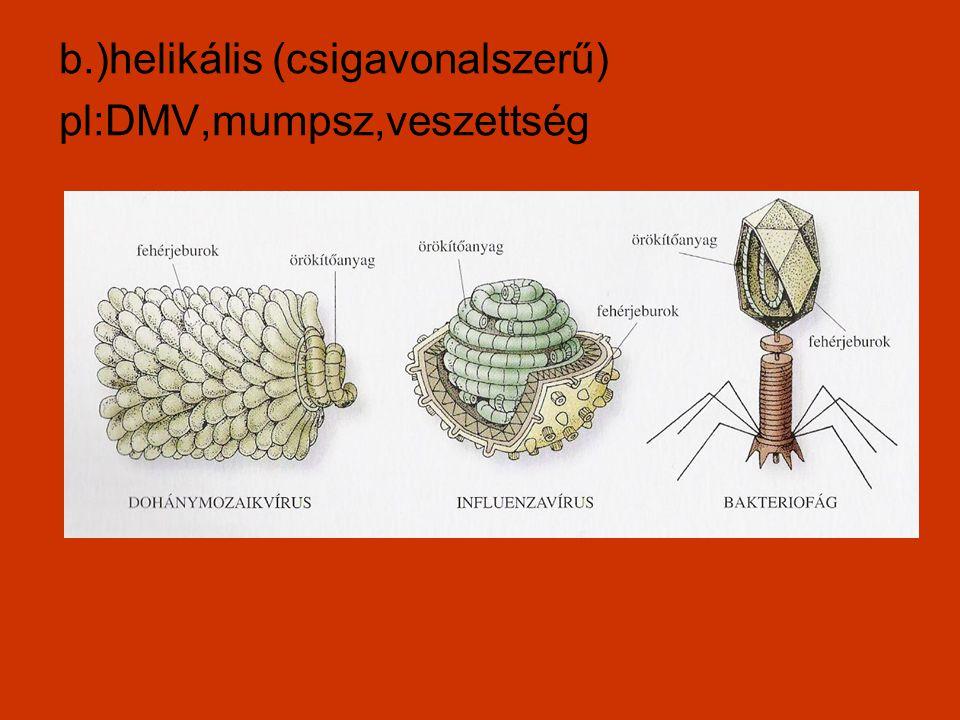b.)helikális (csigavonalszerű) pl:DMV,mumpsz,veszettség