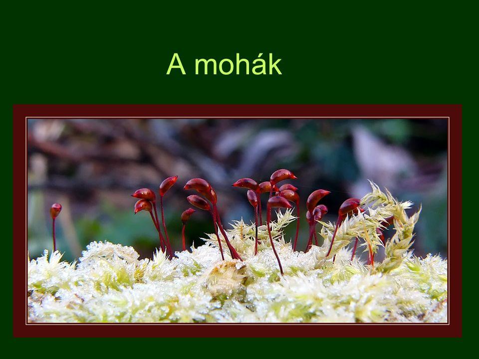 2.) Lombosmohák: - tagoltabb testfelépítés - fejlettebbek Fajok: Tőzegmohák ( Sphagnum sp.) ( 17/8 ) lápok alkotói, alul elhalnak, tőzeggé ala- kulnak