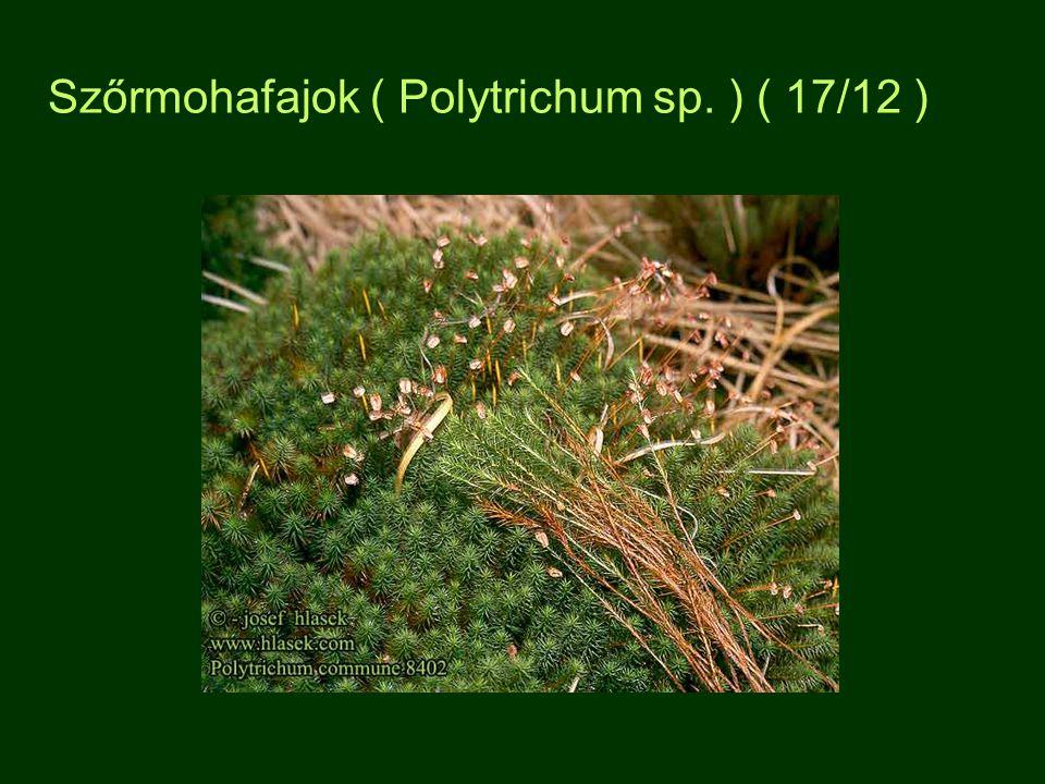 Szőrmohafajok ( Polytrichum sp. ) ( 17/12 )