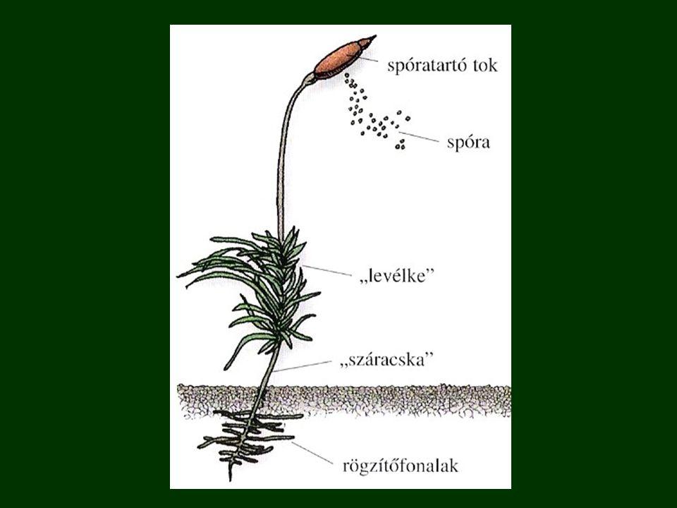 rögzítőfonalak ( gyökérszerű képződmény ): - csak rögzít, tápanyagot a növény az egész testfelületén vesz fel száracska - nincsenek vízszállító szövetek, esetleg kezdetlegesek ( kis méret ) levélke ( levélszerű képződmény ) - 1-2 sejtrétegnyi többnyire, de fotoszintetizál spóra - ivartalan szaporítósejt