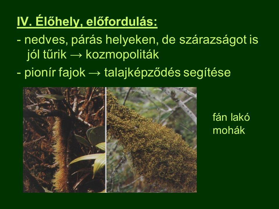 IV. Élőhely, előfordulás: - nedves, párás helyeken, de szárazságot is jól tűrik → kozmopoliták - pionír fajok → talajképződés segítése fán lakó mohák