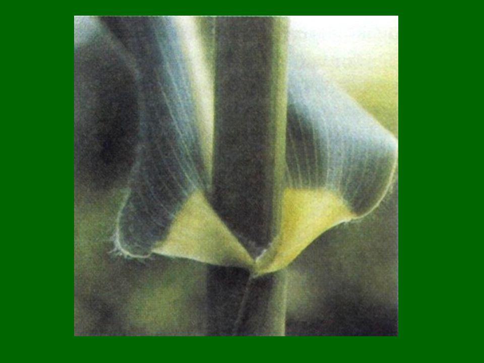 3.) levélszél lehet: ép bemetszett: pl: fűrészes, fogas, hullámos, csipkés 4.) tagolt levéllemez: karéjos hasadt osztott szeldelt